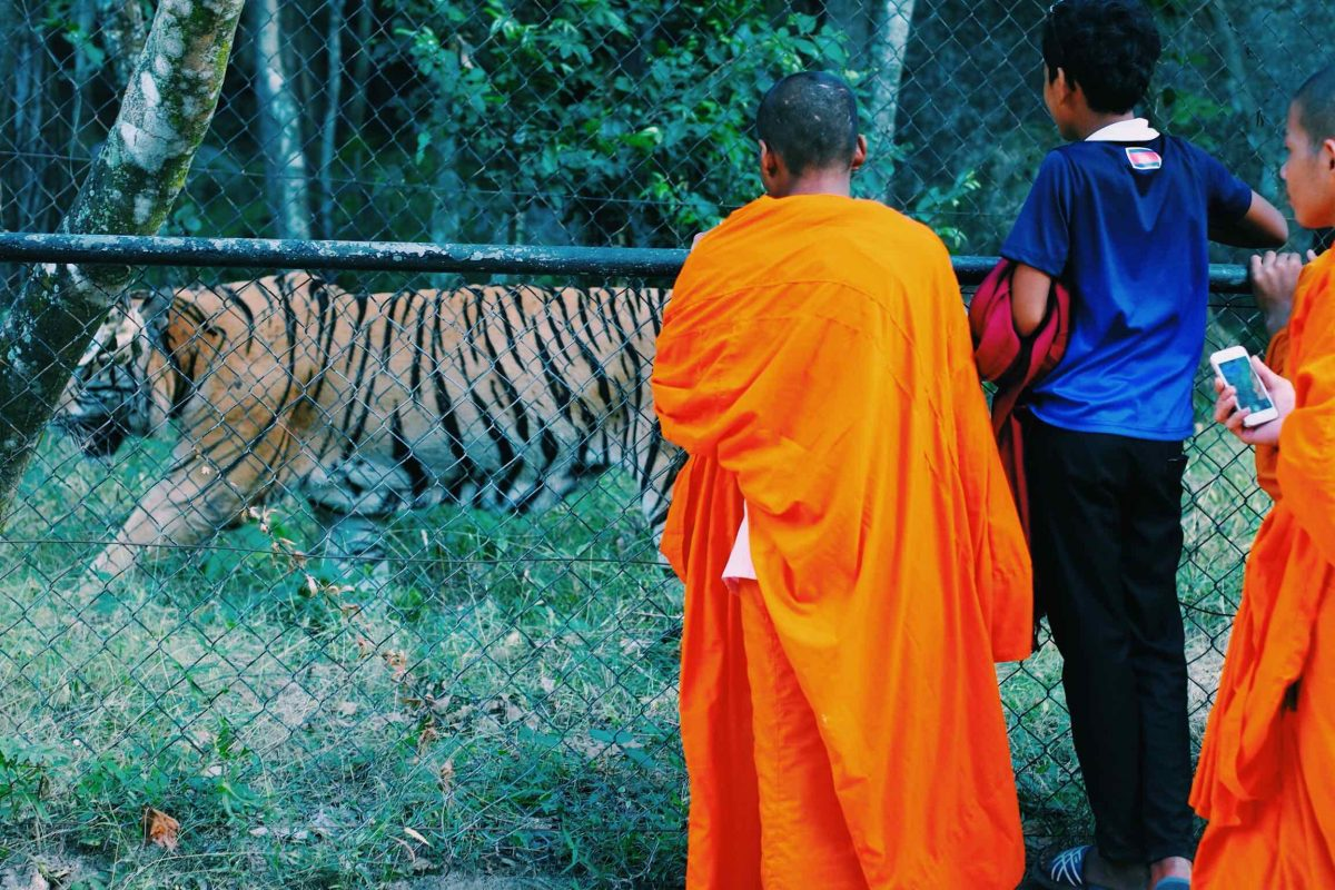 A monk in a bright orange robe stands against a cage, watching a tiger walking around its enclosure at Phnom Tamao Wildlife Rescue Center.